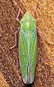 Draeculacephala robinsoni - male