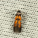 Moth - Chrysoclista linneella