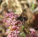 Unknown Bombylliid - Exoprosopa doris