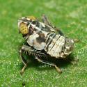 Leafhopper nymph - Jikradia olitoria