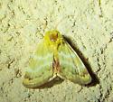 Multicolored moth - Schinia miniana