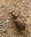 tiny beetle - Apristus