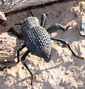 Desert Ironclad Beetle - Asbolus verrucosus