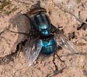 6660 - Cochliomyia macellaria