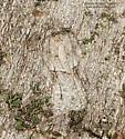 Moth (perfect mimesis) - Acleris nigrolinea