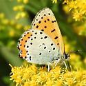 Lycaena hyllus  - Lycaena hyllus