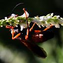 Wasp - orange and black - Sphex