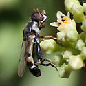Tiny long bodied pale yellow and dark brown fly, superficially resembling a wasp - A wasp mimic? - Syritta pipiens