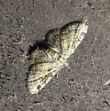 Heterocera 6-5-09 01 - Pasiphila rectangulata