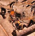 Small wasp - Psorthaspis mariae