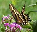 Giant Swallowtail - Papilio cresphontes - female