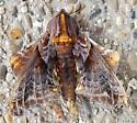 Paonias myops (Small-Eyed Sphinx) - Paonias myops