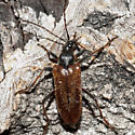 Unknown Bug - Acmaeops proteus