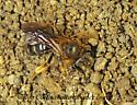 175027 Andrena - Andrena