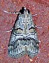 Pococera asperatella