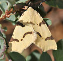 Geometridae (?) - Neoterpes trianguliferata