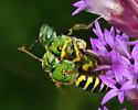 Green metallic bees mating . . . or not. - Agapostemon splendens - male - female