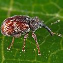 Tiny Reddish Snout Beetle - Anthonomus signatus