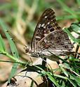 Empress Leilia - Asterocampa leilia