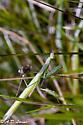 another European Mantis - Mantis religiosa - male