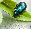 Leaf Beetle? - Altica