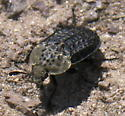 Bumpy, black and gray beetle - Thanatophilus lapponicus