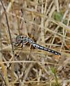 Bleached Skimmer - Libellula composita - female