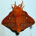 Spiny Oakworm Moth - Anisota stigma - Anisota stigma - male