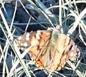 Waterton-Butterfly