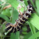 American lady caterpillar? - Vanessa virginiensis