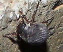 Serica (June) Beetle - Serica