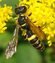 Possible apoid wasp - Cerceris