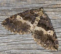 April moth - Anticlea vasiliata