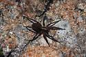 Wolf spider on tundra, Newfoundland - Alopecosa aculeata