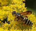 Myzinum - which species? - Myzinum quinquecinctum - female