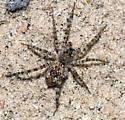 Arachnid - Arctosa littoralis
