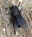 Black Horse Fly - Tabanus atratus? - Tabanus atratus - female