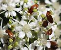 Beetle Mob - Anaspis rufa