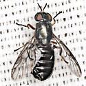 Soldier Fly - Allognosta obscuriventris - female