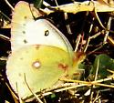 Clouded sulphur - Colias philodice - female
