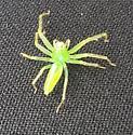 green spider found near Richmond VA - Lyssomanes viridis