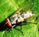 Fly feeding on aphid honeydew #2