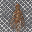 Scathophaga pair - Scathophaga - male - female