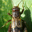 What kind of Ground Cricket? - Allonemobius - female