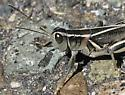 melanoplus grasshopper ? species ? - Melanoplus bivittatus - male