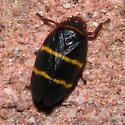 small black with orange stripes - Prosapia bicincta