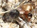small desert spider - Asagena fulva - female