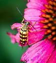 Which Flower Longhorn - Typocerus deceptus or velutinus - Typocerus