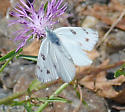 Checkered White - Pontia protodice - male