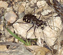 Most Common southern AZ tiger beetle? - Cicindelidia sedecimpunctata